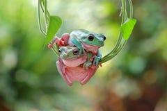 Dumpy White Tree Frog Stock Photos