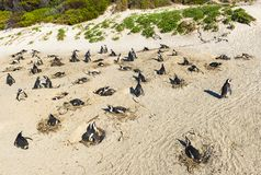 Dumskallepingvin koloni, Sydafrika arkivbild