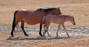 Dun Foal with Dun Mare Mother on Sykes Ridge in the Pryor Mountains of Montana Stock Photos