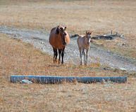 Dun Foal with Dun Mare Mother on Sykes Ridge in the Pryor Mountains Stock Image