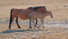 Dun Foal with Dun Mare Mother on Sykes Ridge in the Pryor Mountains Stock Photo