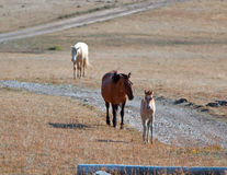 Dun Foal with Dun Mare Mother on Sykes Ridge in the Pryor Mountains of Wyoming - Montana Royalty Free Stock Images