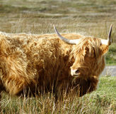 Dun Highland Cow Royalty Free Stock Photo