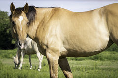 Dun Horse Close-Up Stock Image