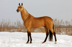 Dun horse exterior Royalty Free Stock Photo