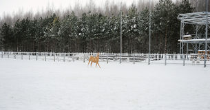 The dun horse is running at background of monochrome winter landscape Stock Image