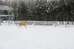 The dun horse is running at background of monochrome winter landscape Royalty Free Stock Photos