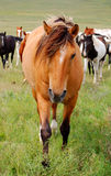 dun konia ciemności gapiąc się Zdjęcia Stock