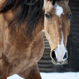 Dun lusitano horse portrait closeup in winter Royalty Free Stock Photography