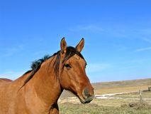 Dun Mare. Standing in a pasture Royalty Free Stock Photography