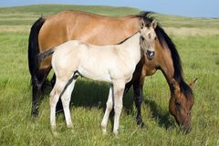 Dun mare and grulla foal. Quarter-horse dun mare and grulla foal grazing in pasture.Photo credit:Becky Hermanson royalty free stock photo