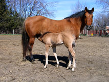 Dun mare and her foal. Dun mare and her young foal in early spring Royalty Free Stock Photography