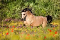 Dun pony run in flowers. Beautiful pony run in poppy flowers stock photos