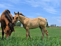 Dun quarter horse foal. Walking up to a filly in the pasture Stock Photo