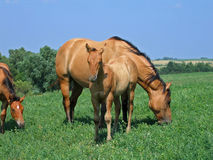 Dun quarter horse foal. Standing next to its mother in the pasture Stock Photo