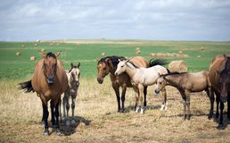 Dun Quarter-Horse Mares Royalty Free Stock Images