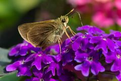 Dun Skipper Butterfly - Euphyes vestris. Dun Skipper Butterfly collecting nectar from a purple Butterfly Bush flower. Also known as a Sedge Witch. Rosetta Stock Photography