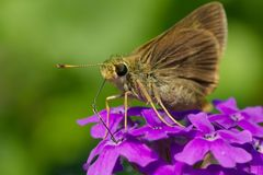Dun Skipper Butterfly - Euphyes vestris. Dun Skipper Butterfly collecting nectar from a purple Butterfly Bush flower. Also known as a Sedge Witch. Rosetta Stock Photo