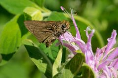 Dun Skipper Butterfly - Euphyes vestris. A Dun Skipper Butterfly is collecting nectar from a purple Wild bergamot flower. Todmorden Mills Park, Toronto, Ontario stock images
