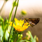 Dun Skipper, Euphyes ruricola Royalty Free Stock Images