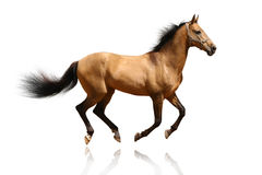 Dun stallion isolated. On white Royalty Free Stock Photos