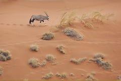 Duna de areia do cruzamento do Gemsbok/Oryx Imagem de Stock