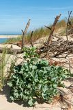 Duna de Pilat, bahía de Arcachon, Francia: la planta llamó el panicaut de dunas fotografía de archivo libre de regalías