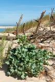 Duna di Pilat, baia di Arcachon, Francia: la pianta ha chiamato il panicaut delle dune fotografia stock libera da diritti