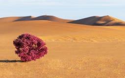 Dunas, arbusto púrpura y arenas en el desierto fotografía de archivo