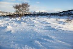 Dunas da neve e uma árvore só do inverno, Islândia Imagem de Stock