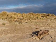 Dunas de areia em Ynyslas Imagens de Stock