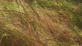 Dunas de arena de Bruneau Idaho 7 hierbas almacen de video