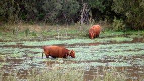 Dunas de Guadalupe-Nipomo, CALIFÓRNIA, ESTADOS UNIDOS - 8 de outubro de 2014: o gado ou a vaca em uma manhã nevoenta, amarram o p Foto de Stock Royalty Free