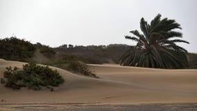 Dunas de Maspalomas - Gran Canaria - Spanien - Palme im Sturm lizenzfreies stockbild