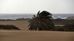 Dunas de Maspalomas - Gran Canaria - Spanien - am Sturm - wilde See- und Windbiegungspalme stockbilder