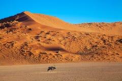 Dunas de Sossusvlei en los parques nacionales del namib del desierto de Namibia entre el desierto y la sabana foto de archivo libre de regalías