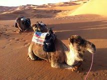 Dunas dos camelos e de areia no Sahara Fotografia de Stock Royalty Free