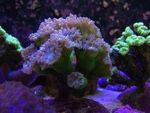 Duncan y coral de Kriptonyte en un tanque del filón Imágenes de archivo libres de regalías