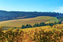 Dundee Hills Vineyards in Oregon Stock Photography