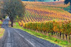 Dundee Hills Vineyards in Oregon. A gravel road travels along sige a vineyard in autumn colors covers the Dundee rolling hills in Dundee, Oregon Stock Image
