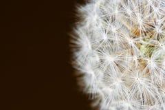 Dundelion op de durkachtergrond Stock Fotografie