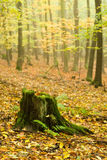Dunderhead in the autumn forest Stock Image