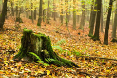 Dunderhead in the autumn forest Royalty Free Stock Image
