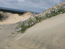 Dune. The pleseant flowers on the sandy dune Stock Photo