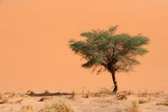 Dune and acacia Stock Photography