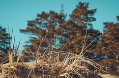Dune at the Baltic Sea coast. Summer or autumn sand beach. Nature background image. Vacantion concept. Forest pine, grass and . Co Royalty Free Stock Photography