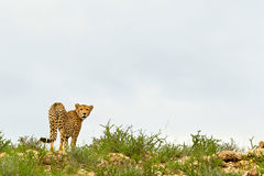 Dune Cheetah. Cheetah on top of a hill, Kgalagadi, South Africa Royalty Free Stock Images