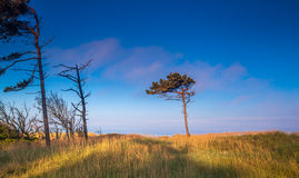 dune with crooked tree Royalty Free Stock Photography