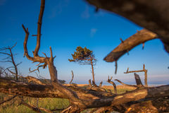 dune with crooked tree Stock Photos