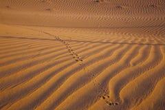 Dune de désert avec la trace de la gerboise photos stock